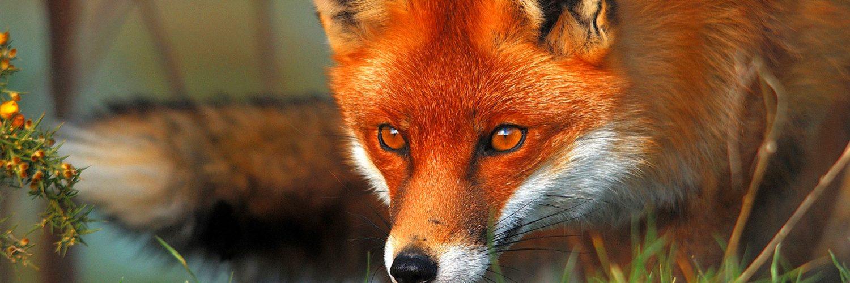 name fox eyes - photo #15