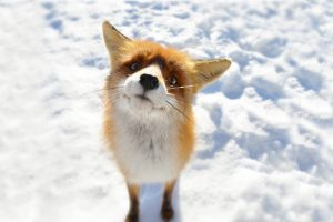 fox image hd