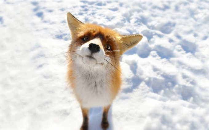 fox image hd