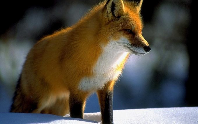 fox images hd