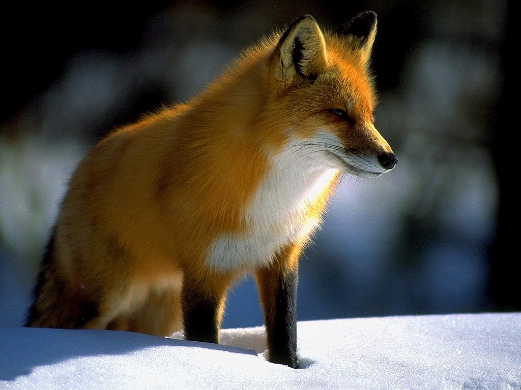fox images hd