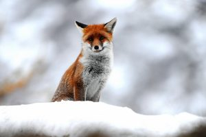 fox picture hd