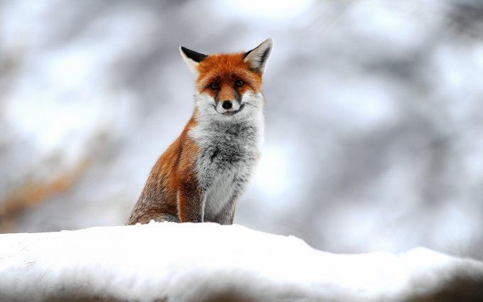 fox picture hd