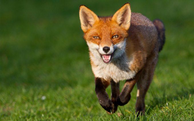 fox wallpaper beautiful