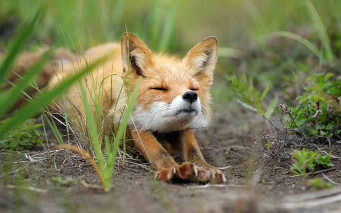 fox wallpaper computer