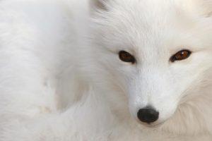 fox wallpaper free
