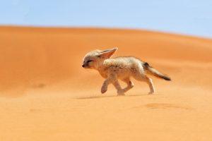 fox wallpapers desert