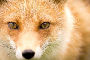 fox wallpapers download