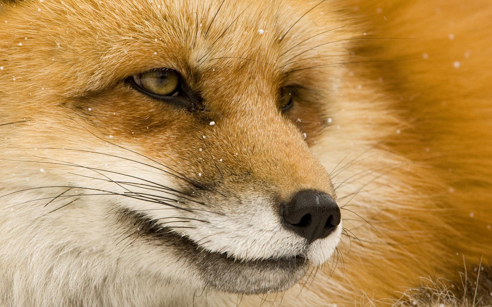 fox wallpapers eyes