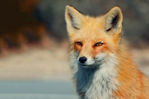 fox wallpapers face