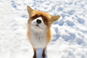 fox wallpapers funny