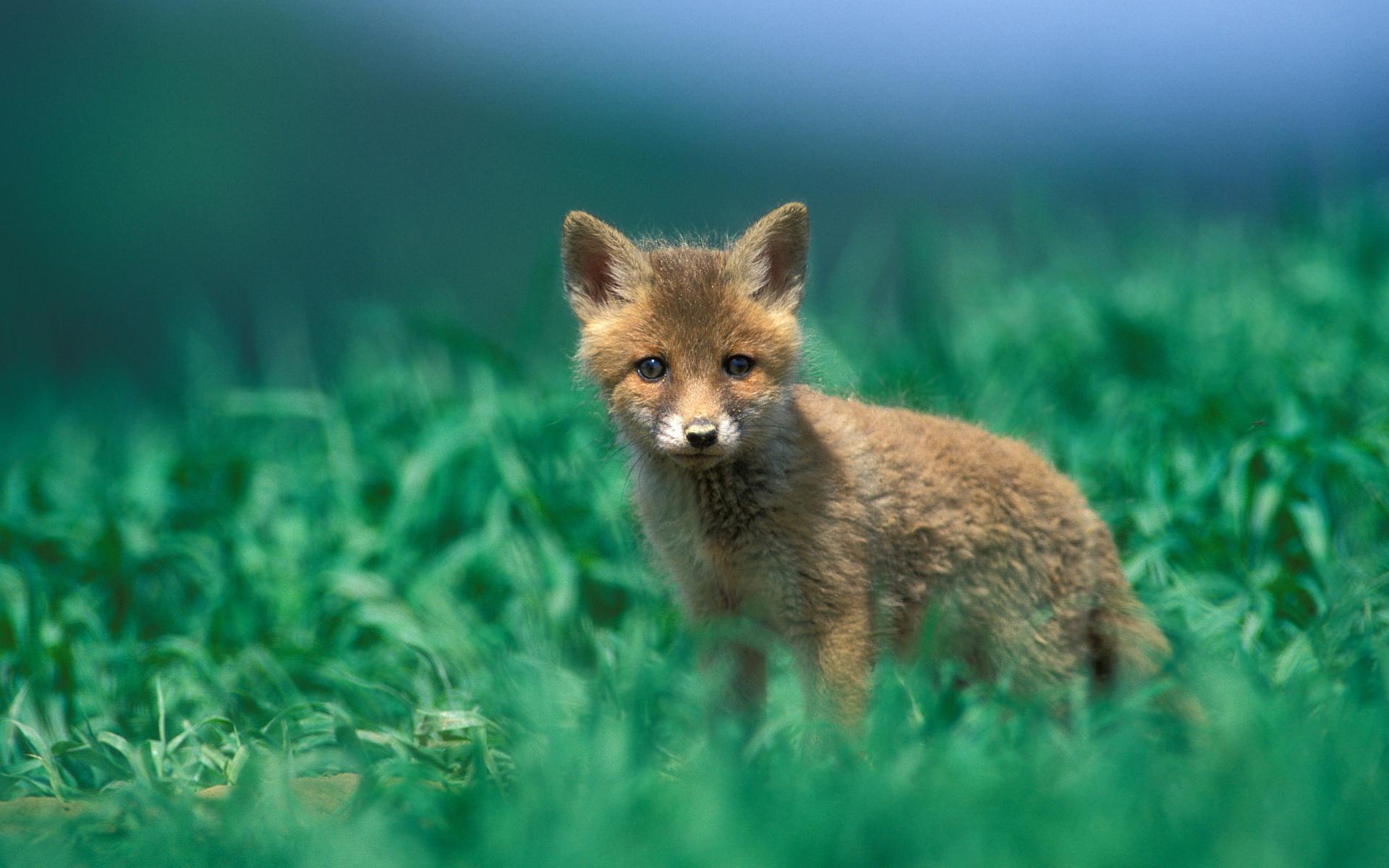 fox wallpapers pup