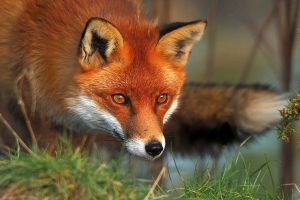 fox wallpapers red