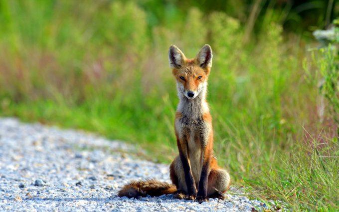 fox wallpapers sitting