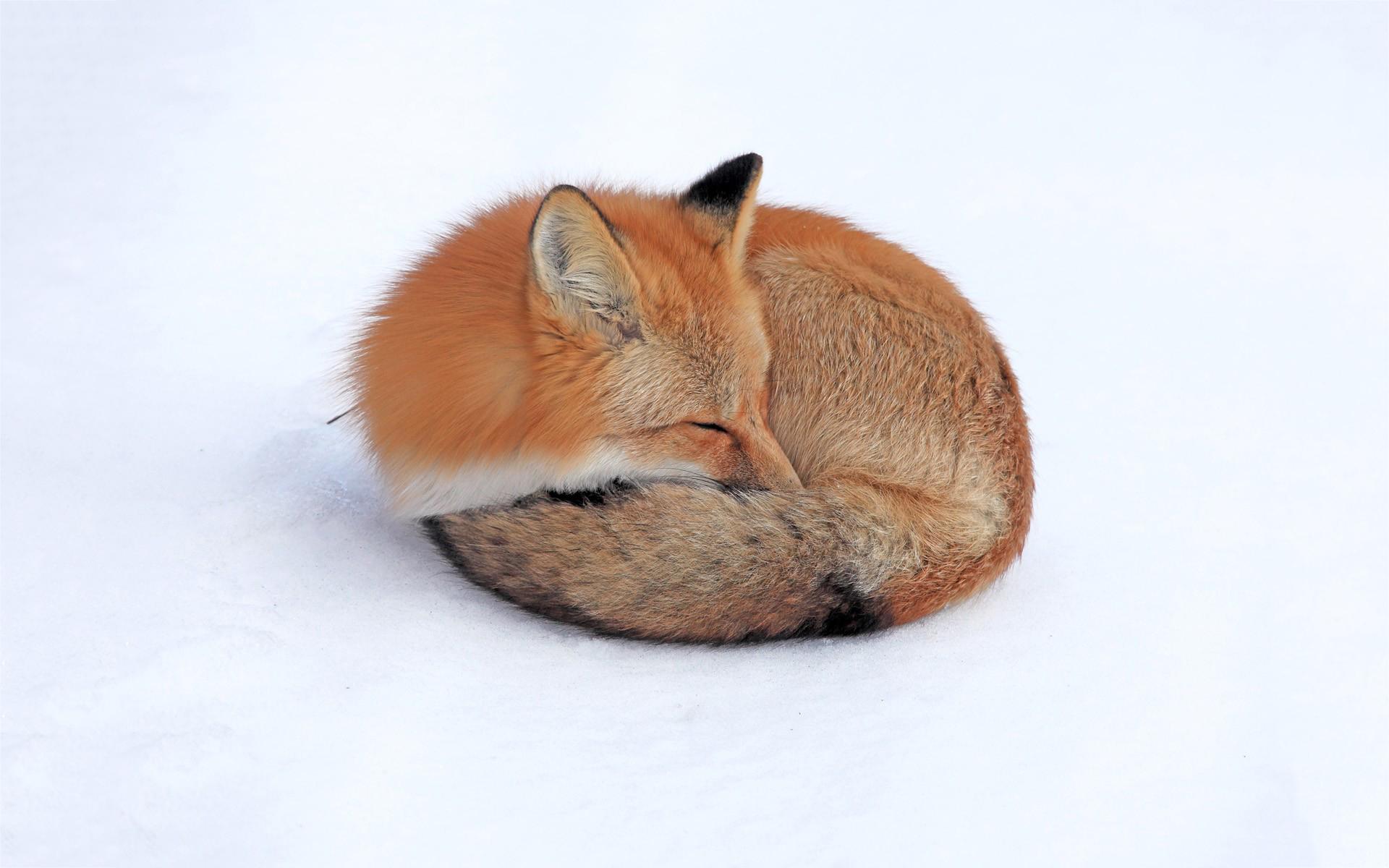 fox wallpapers sleeping