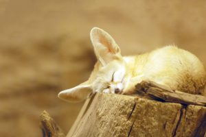 fox wallpapers snooze