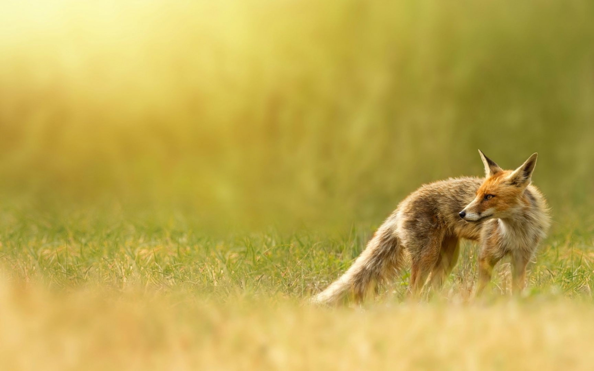 fox wallpapers wild
