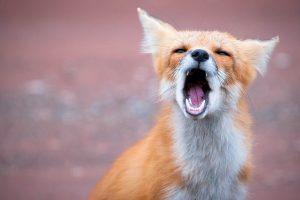 fox wallpapers yawn