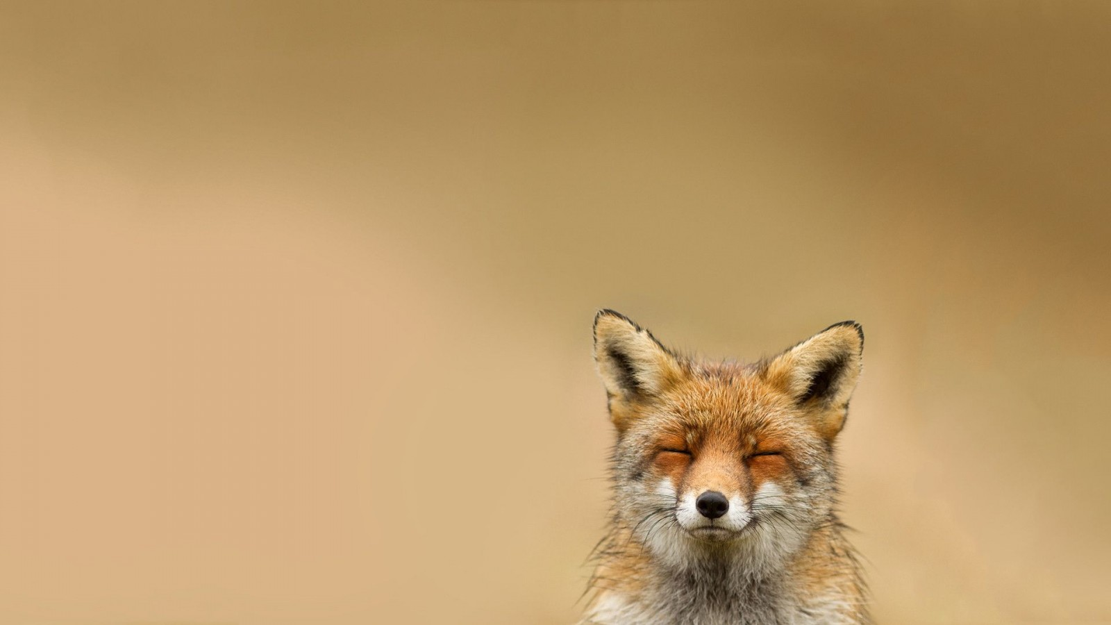fox wallpapers