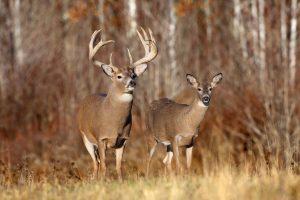 free deer wallpaper