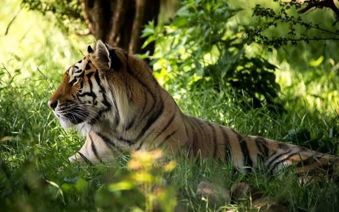 free download tiger wallpaper