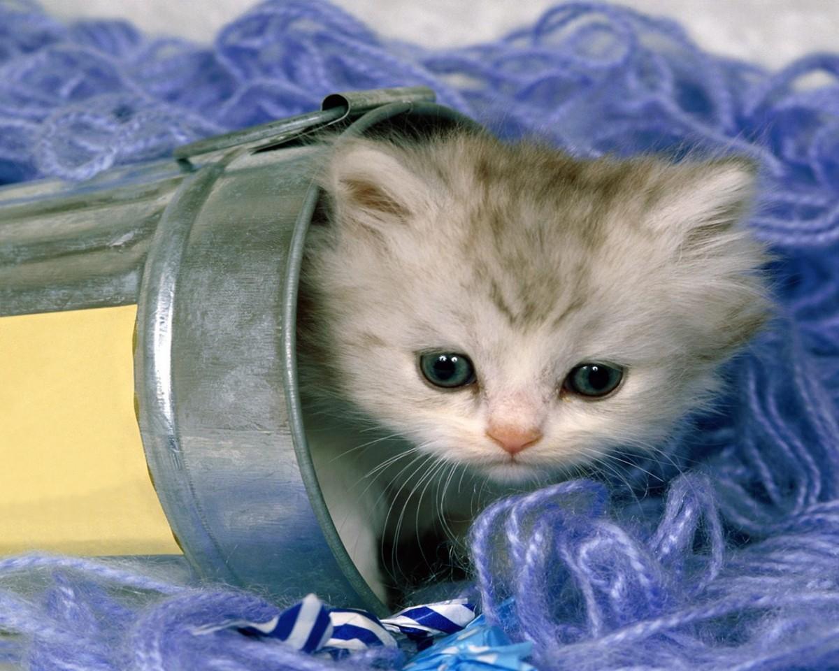 free kitten wallpaper