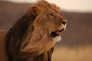 free lion image