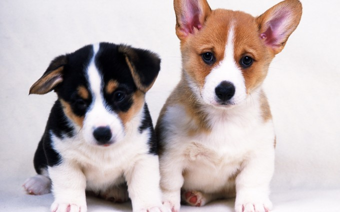 free puppies wallpapers
