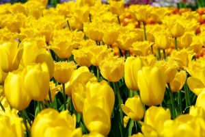 free tulip pictures yellow