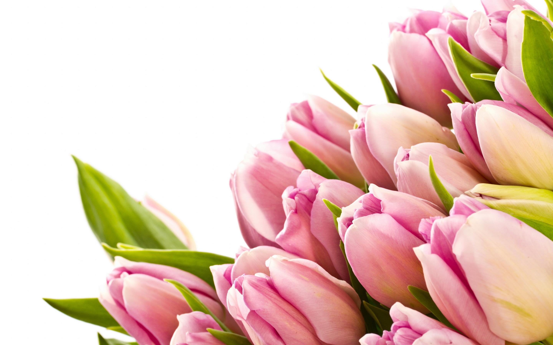 free tulip wallpaper pink