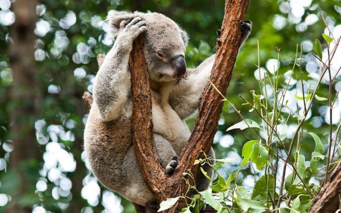 free wallpaper koala