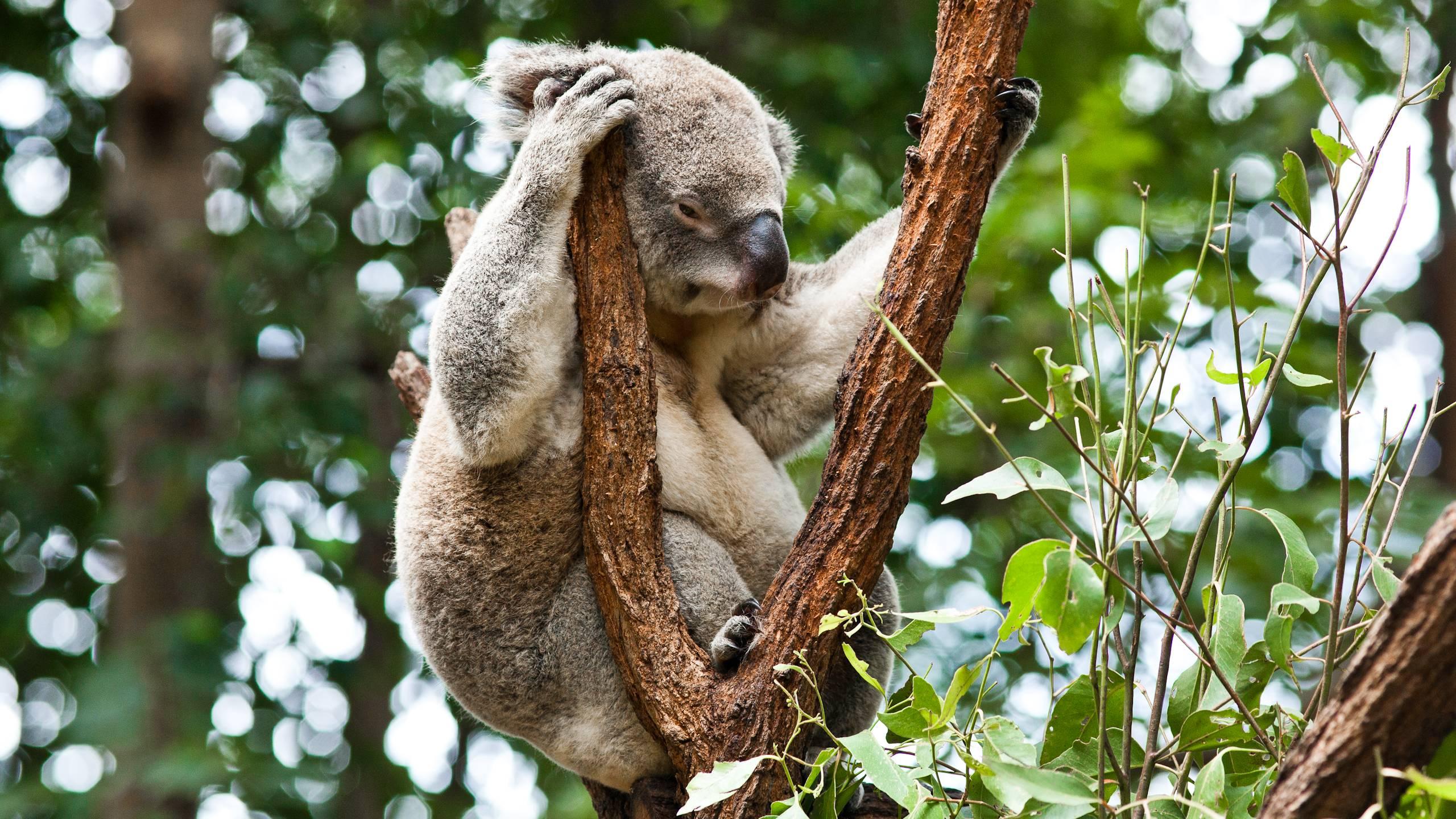 Free Wallpaper Koala - HD Desktop Wallpapers