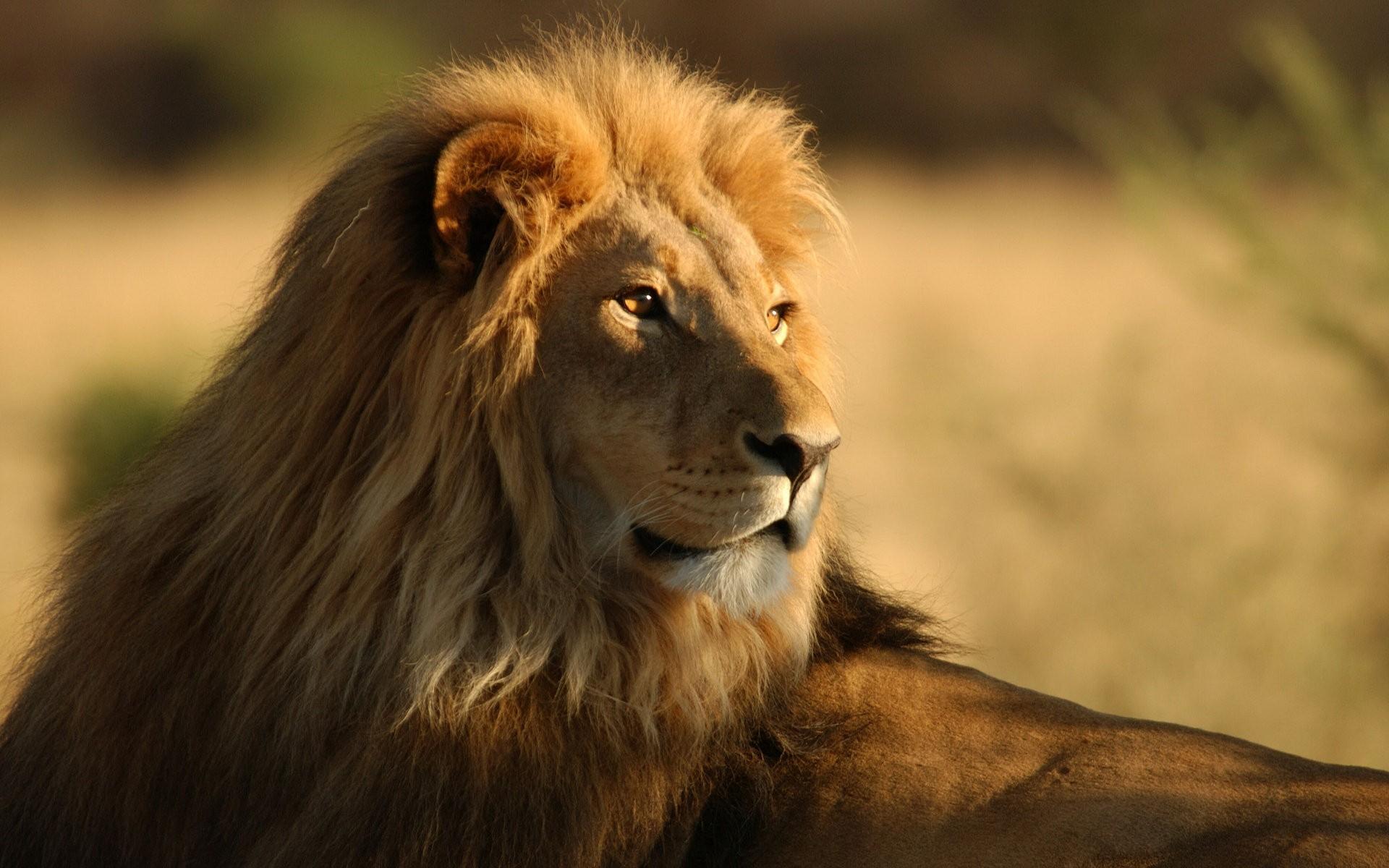 free wallpaper lion
