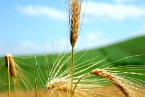 free wallpaper wheat
