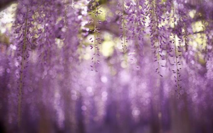 free wallpaper wisteria