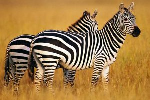 free wallpaper zebra