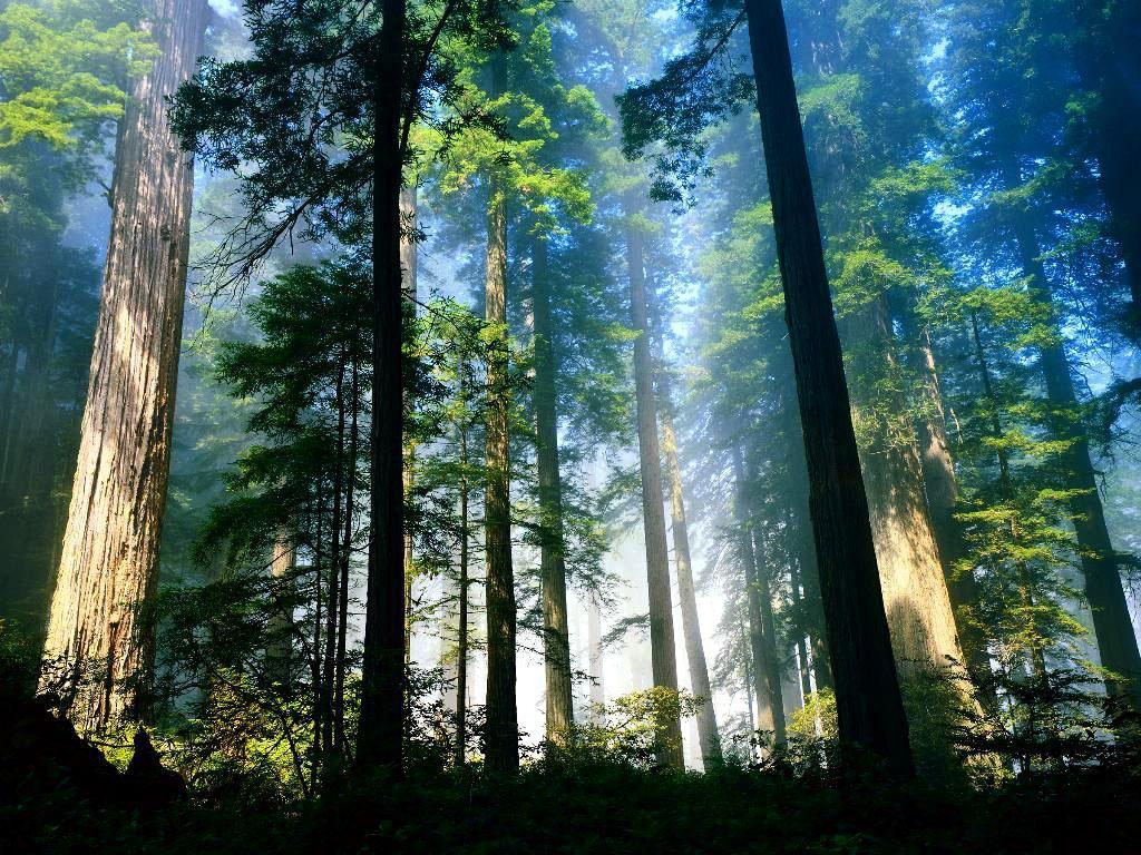 free woods wallpaper