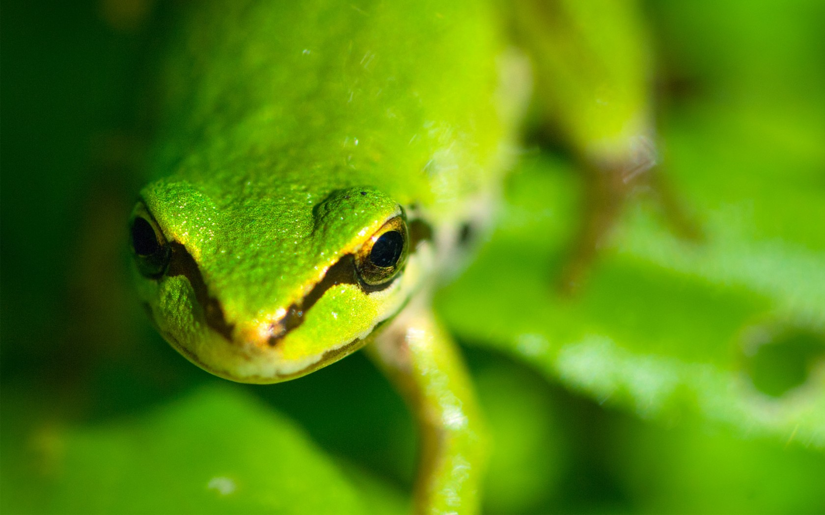 frog green wallpaper