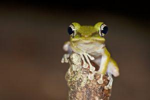 frog hd