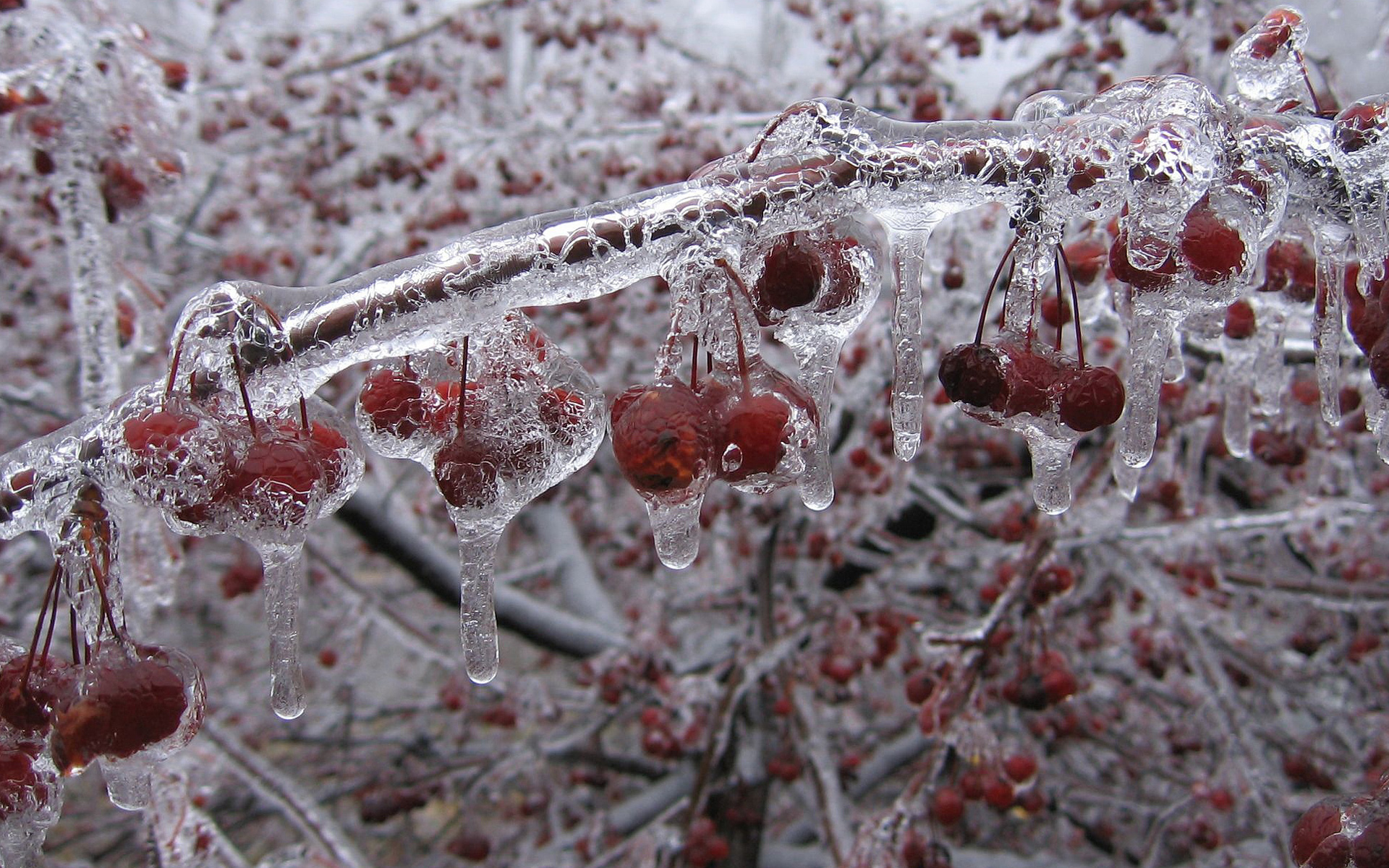 frost wallpaper berries