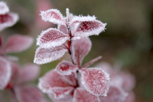 frost wallpaper flowers