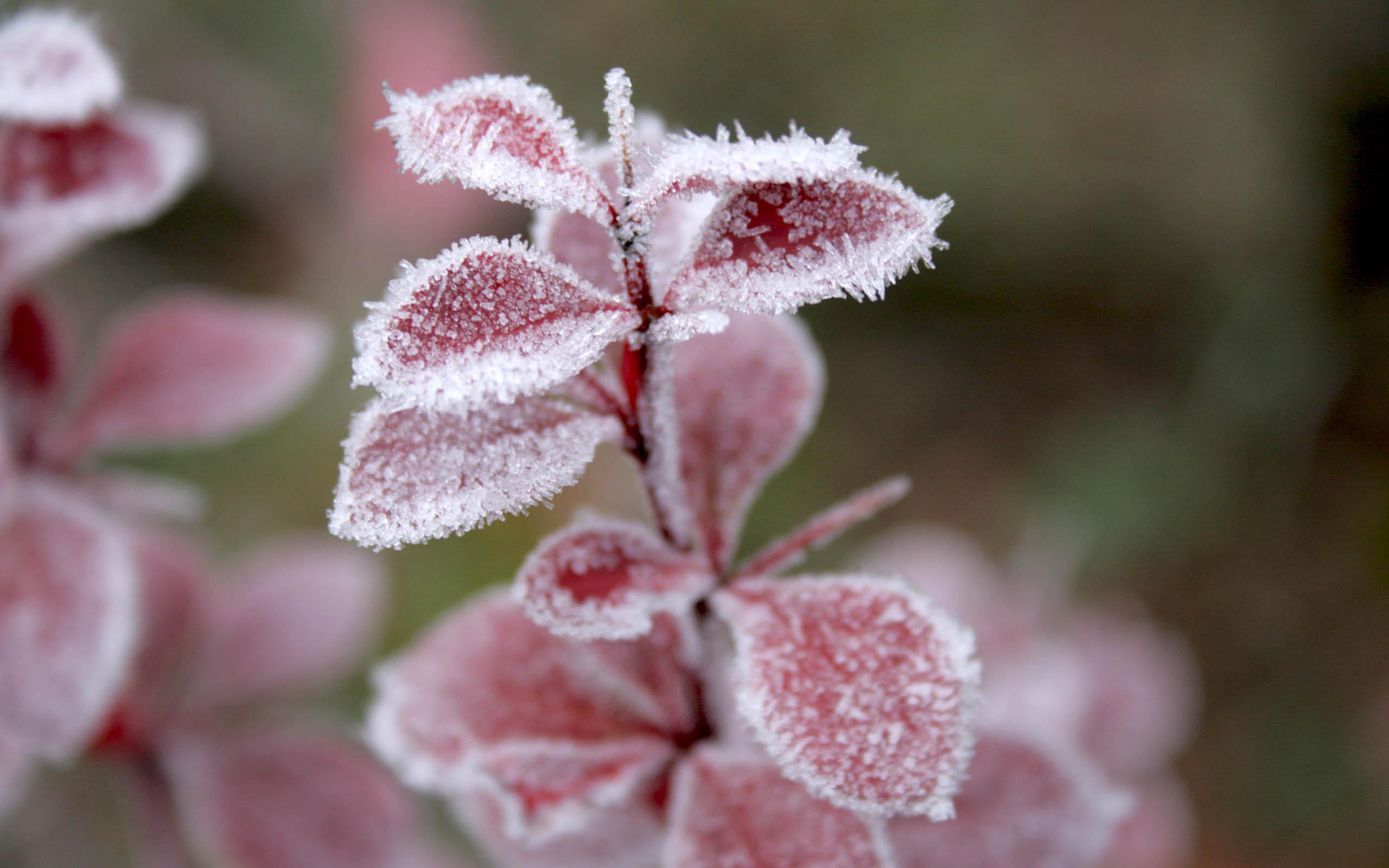 frost wallpaper flowers
