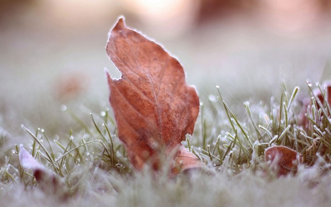 frost wallpaper leaf