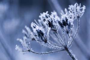 frost wallpaper plant