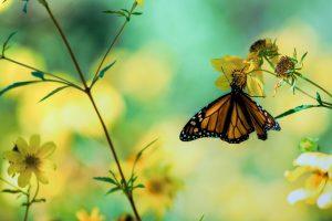 full hd butterfly wallpaper
