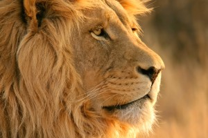full hd lion wallpapers