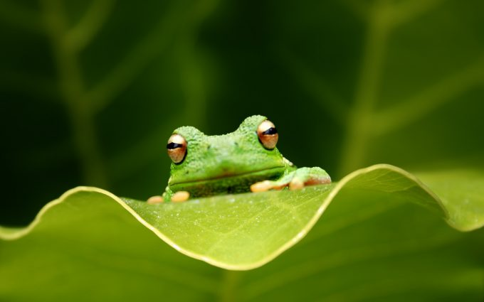 funny frog wallpapers