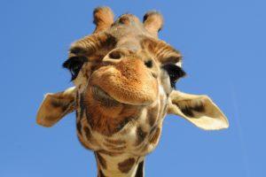 funny hd giraffe