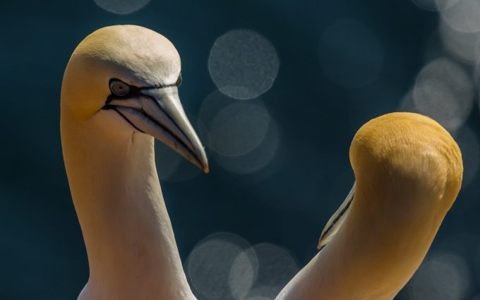 gannets seabirds
