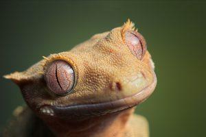 gecko hd